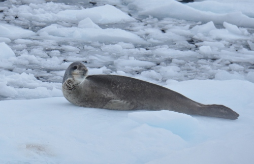 Yalour aft leopard seal2 (1024x663)